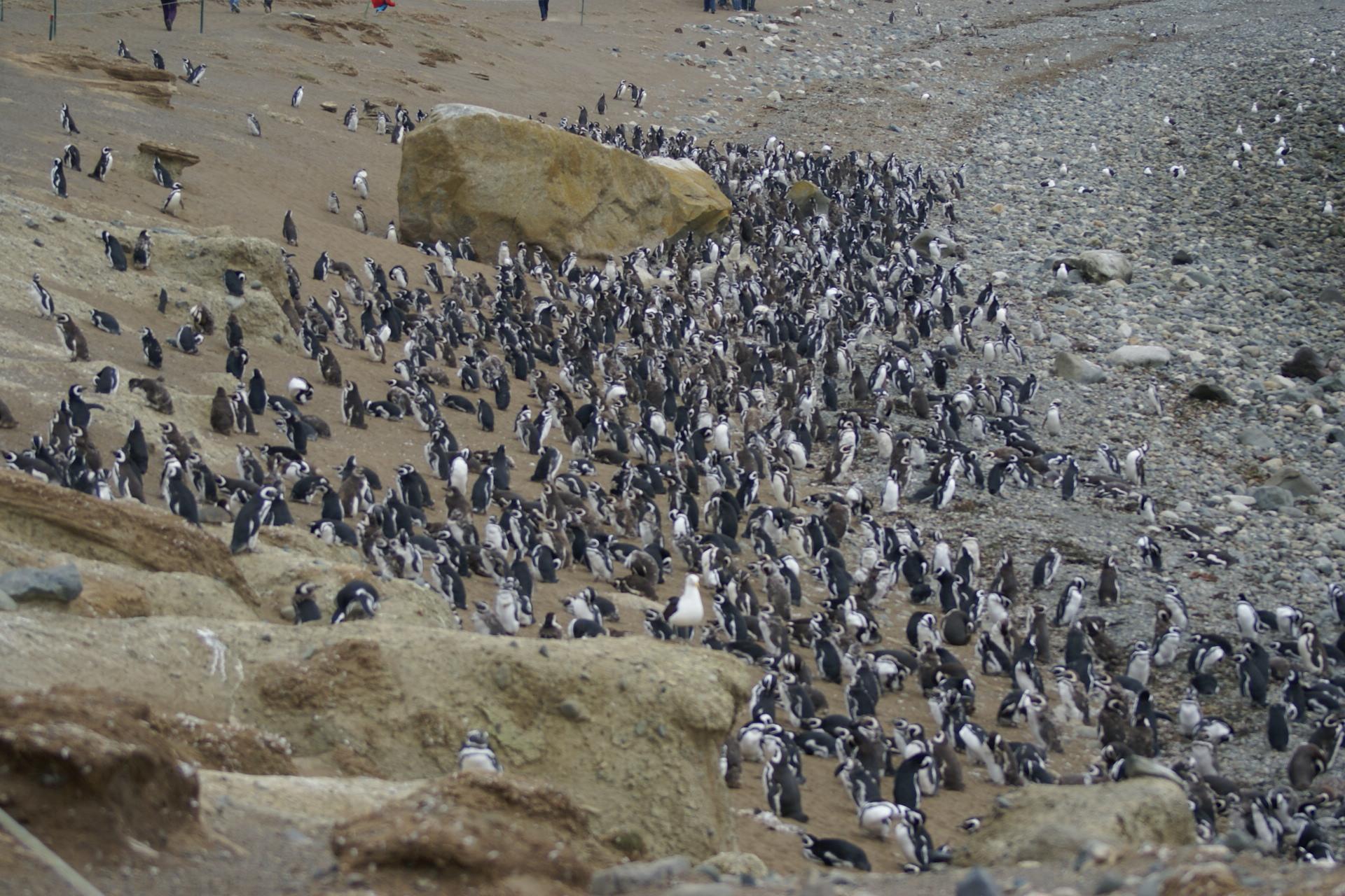 Pingüineras Seno Otway