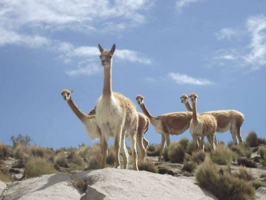 Vicuña National Reserve