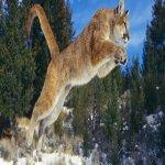PUMA (SOUTH AMERICA LION)