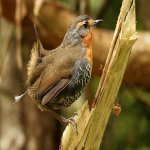 TAPACULO